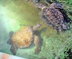 福井県高浜町沖で見つかったクロウミガメ(左)とアオウミガメ=25日、同県坂井市の越前松島水族館