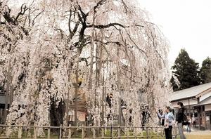 流れ落ちるように咲く樹齢370年のしだれ桜=10日、福井市足羽1丁目の足羽神社