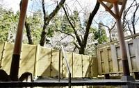 ソメイヨシノ湯船から堪能 池田「冠荘」で見頃 みんなで読もう