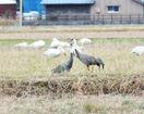 福井の田んぼに「ナベヅル」飛来 清水地区に2羽