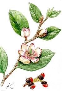 カラタネオガタマ(唐種招霊) モクレン科 花はバナナの香り レッツ!植物楽