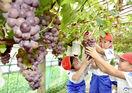 甘い実たわわ、ブドウ収穫体験