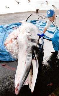 小浜漁港に大物 ミンククジラ水揚げ