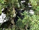 勝山の住宅街「籠城」クマを捕獲