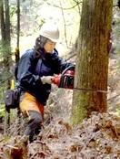 林業女子、チェーンソーで間伐奮闘