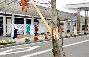 無残に枝が折られたアオッサ近くの街路樹=2017年10月11日、福井県福井市手寄1丁目