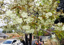 淡い緑の桜、陽光に浮く