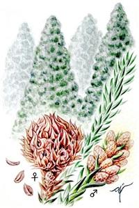 【レッツ!植物楽】 スギ(杉) ヒノキ科(旧スギ科) 日本固有の貴重な針葉樹