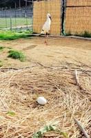 巣の中に産み落とされた卵と、それを見守る「ふっくん」=16日、福井県越前市中野町(県提供)