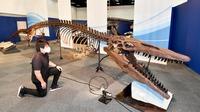 太古の海で食物連鎖の頂点に君臨ティロサウルス・プロリゲル 全長13mの全身化石複製 福井県立恐竜博物館「海竜展」