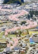 まちを縫うピンクの帯 一桜一絵2020ふくい