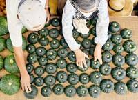 福井の「坊ちゃんカボチャ」ベータカロテンが豊富 収穫ピーク、乾燥させて順次出荷