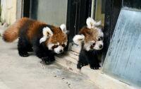 双子の赤ちゃんパンダ見に来て 鯖江・西山動物園で22日から