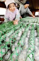 県内唯一の養蚕農家で繭生産開始