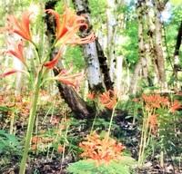オレンジ色 輝く花弁 キツネノカミソリ見ごろ 福井・下市山