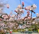 桜の開花予想、福井はいつ