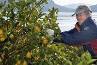 毎日レモン食べれば健康?