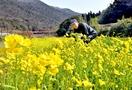 百年超す伝統の春野菜、収穫ピーク
