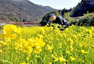 収穫がピークを迎えている黒河マナ=3月17日、福井県敦賀市山