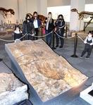 「大きすぎ」恐竜足跡50cm超化石