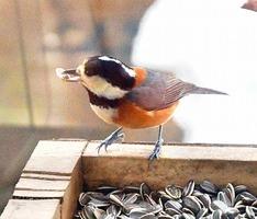 餌をついばむヤマガラ=福井県大野市の県自然保護センターの「冬の野鳥レストラン」