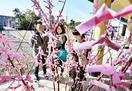 入試受かり感謝「合格桜」が満開