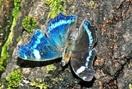 ルリタテハ 黒地に輝く瑠璃色の羽 足羽三山生き…