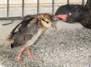 すくすく育つコサンケイのひな=福井県の鯖江市西山動物園
