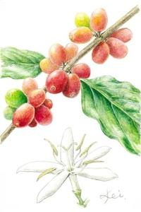 【レッツ!植物楽】コーヒーノキ(珈琲の木) アカネ科 世界で愛される香り