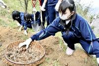 修学旅行で水仙の植え付け体験