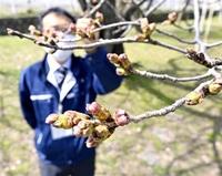福井の桜開花間近? 暖かさ続く予報 最速更新も