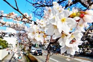 青空に花を開かせるソメイヨシノ=27日、福井市宝永4丁目