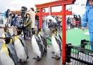 ペンギンよちよち、行進して初詣
