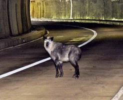 県道の真ん中で立ち止まって動かないニホンカモシカ=9月23日、福井県越前町内のトンネル