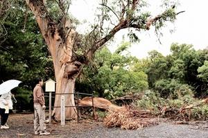 台風21号の影響で真っ二つに割れた敦賀市天然記念物のユーカリノキ=23日、福井県敦賀市の気比神宮境内