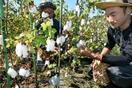 「伯州綿」の収穫が最盛期、鳥取