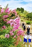 厳しい残暑の中、来場者を楽しませているサルスベリの花=22日、福井県越前市余川町の万葉の里味真野苑