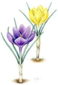 【レッツ!植物楽】 クロッカス アヤメ科 群生して春を呼ぶ