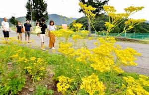 見ごろを迎えているオミナエシの黄色い花=8月20日、福井県大野市南六呂師