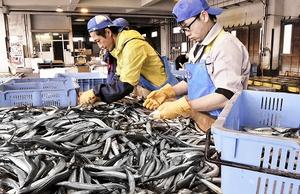 重さごとに選別されるサヨリ=1日、福井県小浜市川崎3丁目の小浜漁港