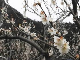 福井梅を使った特産品を販売。梅干加工の見学もできる
