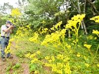 秋の七草かれんに 越前町・プラントピア オミナエシ咲き誇る