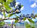 ふっくら大粒、ブルーベリー収穫