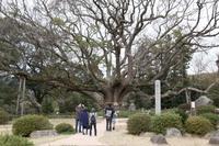 「@山陰山陽」千年の巨木、枯死の危機