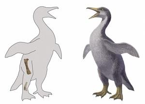 世界最古級の化石が見つかったペンギンモドキのイラスト。左は見つかった部位(山本匠さん提供)