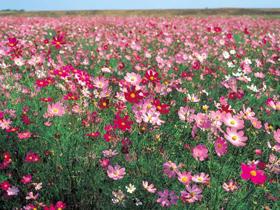 7600万本のコスモスが咲き乱れる