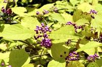ムラサキシキブ 花と実、美たたえる和名 足羽三山生きもの王国(22)