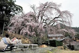 満開間近になり、見頃を迎えたしだれ桜=6日、福井県小浜市の妙祐寺