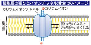細胞膜の張りとイオンチャネル活性化のイメージ