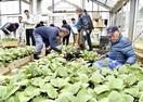 吉川ナス農家に苗配布 鯖江 昨年より400本多く